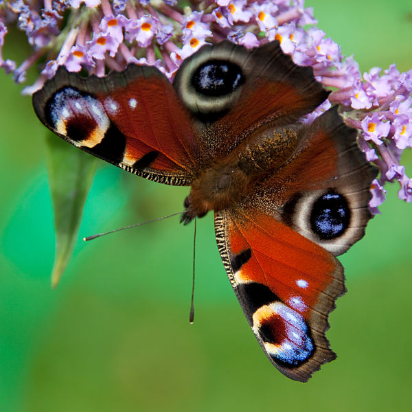 Clowies Butterfly