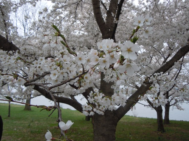 The blossoms that have their own festival!